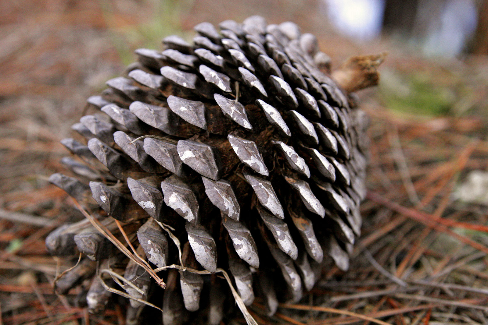 Mature female cone lies on the ground