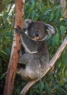 koala: Animal lento em arvore[imagem]
