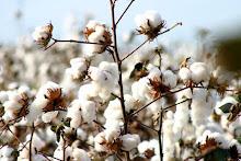 Oeste baiano busca a liderança em algodão