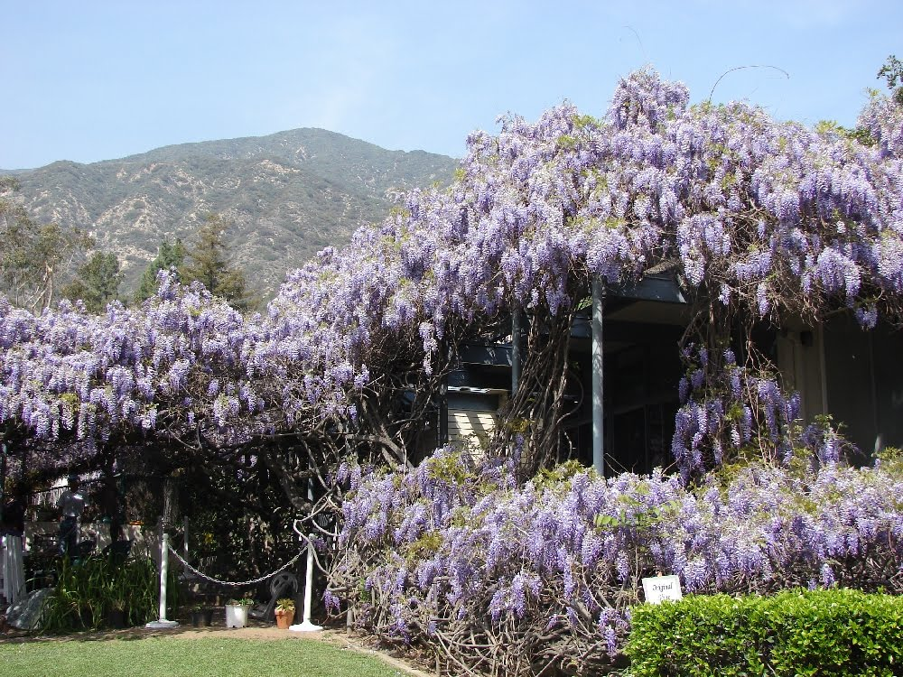 The world's largest known Wisteria vine is located in Sierra Madre