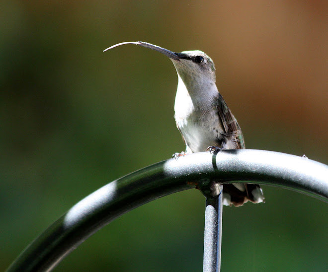 Little Hummer Sticking His Tongue Out