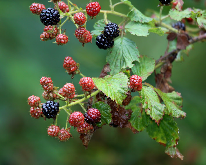 Wild Georgia Blackberries