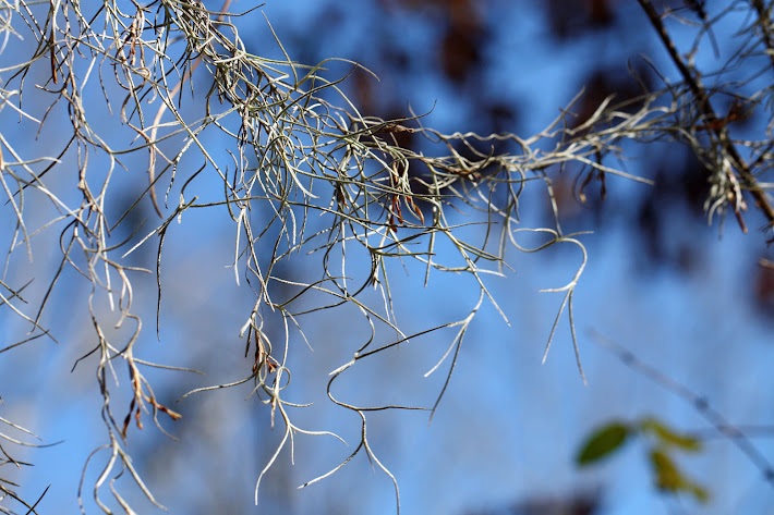 Spanish Moss Tendrils