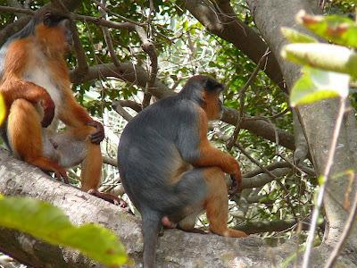 Chimpancés cazando monos increíble estrategia