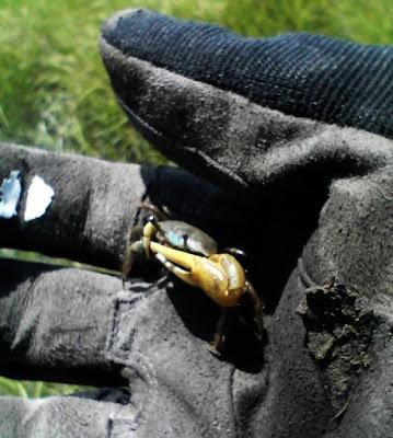 Fiddler Crab, copyright madpixl llc.