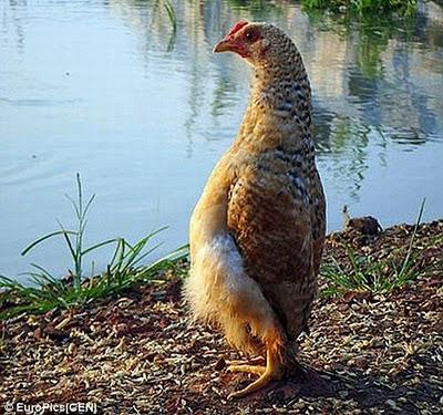 الدجاجة التي تعتقد نفسها بطريق-طرائف الحيوانات-منتهى