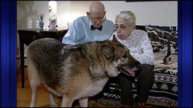 Half-Breed Wolf Dog Hero Rescues Elderly Owners From Snowstorm