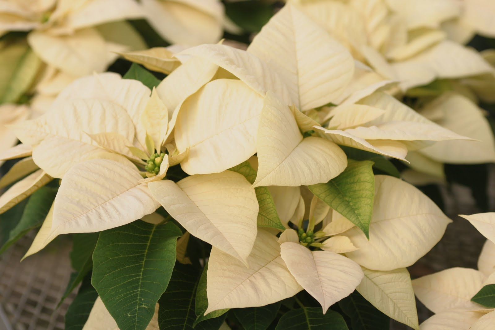 how to keep poinsettias alive indoors