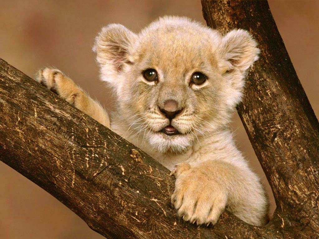 http://4.bp.blogspot.com/_O-sIn2Jn65M/TSox-bHdqEI/AAAAAAAAAD8/mDQSALRIIjc/s1600/cub_lion.jpg