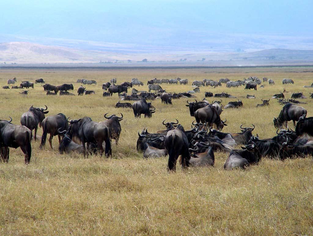 1160319572_1024x768_wildebeest-herd.jpg