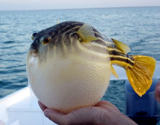 free downloading of puffer fish wikipedia
