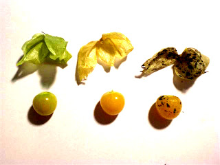 husk cherries, ground cherries, gooseberries, without husk
