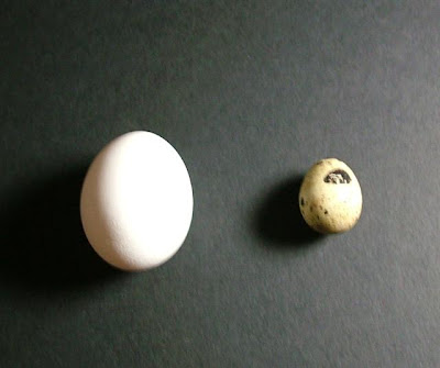 Quail egg vs. hen egg