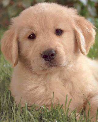 Top 2, Golden Retriever