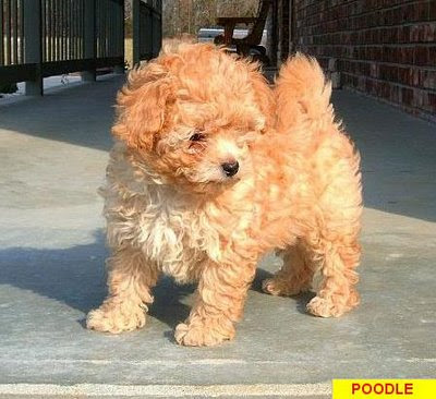 Poodle Mix Dogs