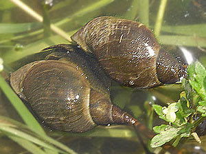 First On The List Is Probably Most D Snail Type You Can Find Pond These Snails Have Conical Football Shaped Shells And Are Usually