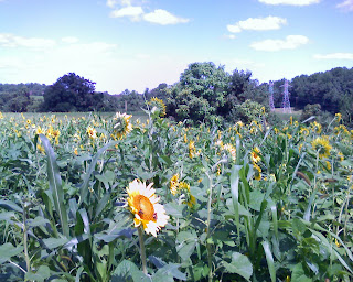 sunflower field at Clagett Farm