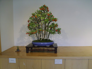 holly bonsai