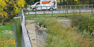 Canada geese near pond