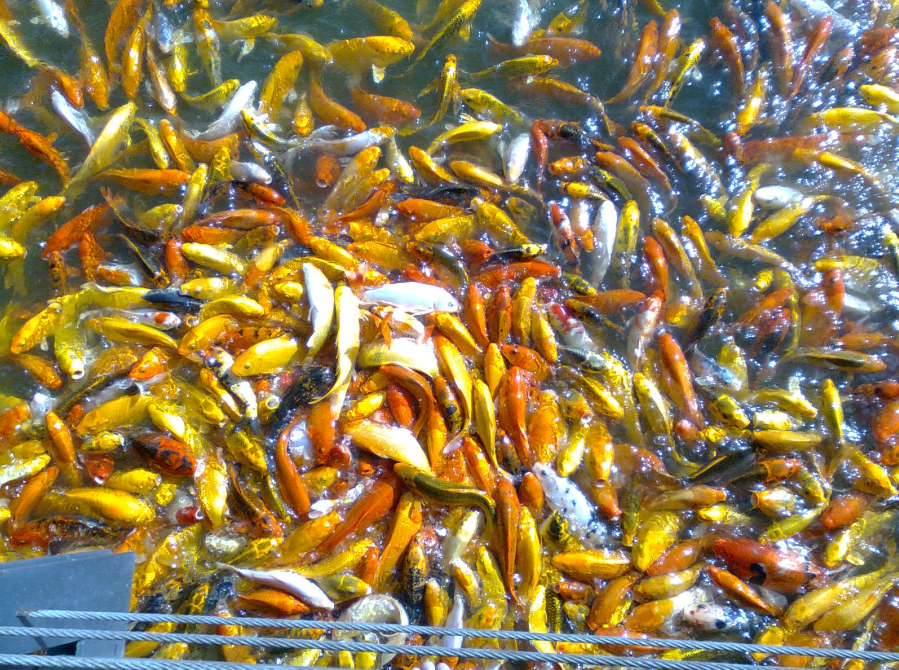Nuvali philippines koi carp fish feeding frenzy for Best food for koi fish