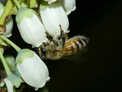 European Honey Bee Pollinating a Blueberry Blossom
