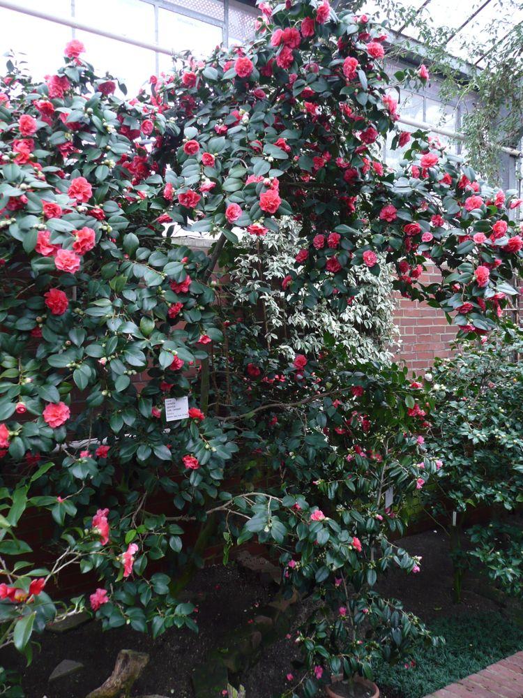 [Camellia+japonica+]