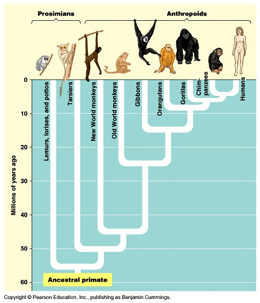 "the primate ""family tree"":"
