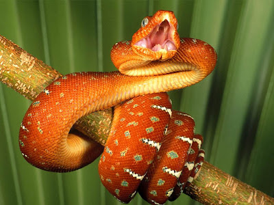 snake wallpapers. snakes wallpapers