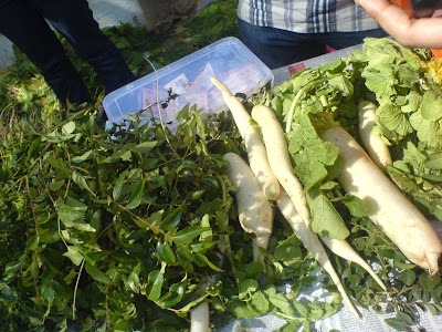 This Week at the Farmer's Market - Radishes and curry leaves