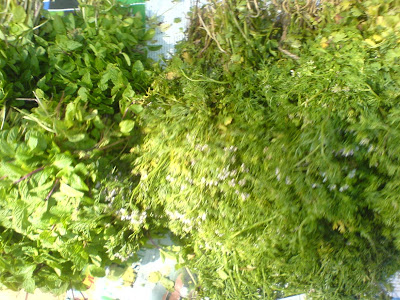 This Week at the Farmer's Market - Coriander and mint
