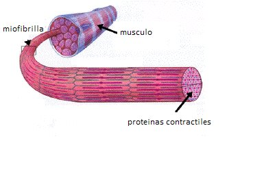 ESTRUCTURA DE LA MIOFIBRILLA