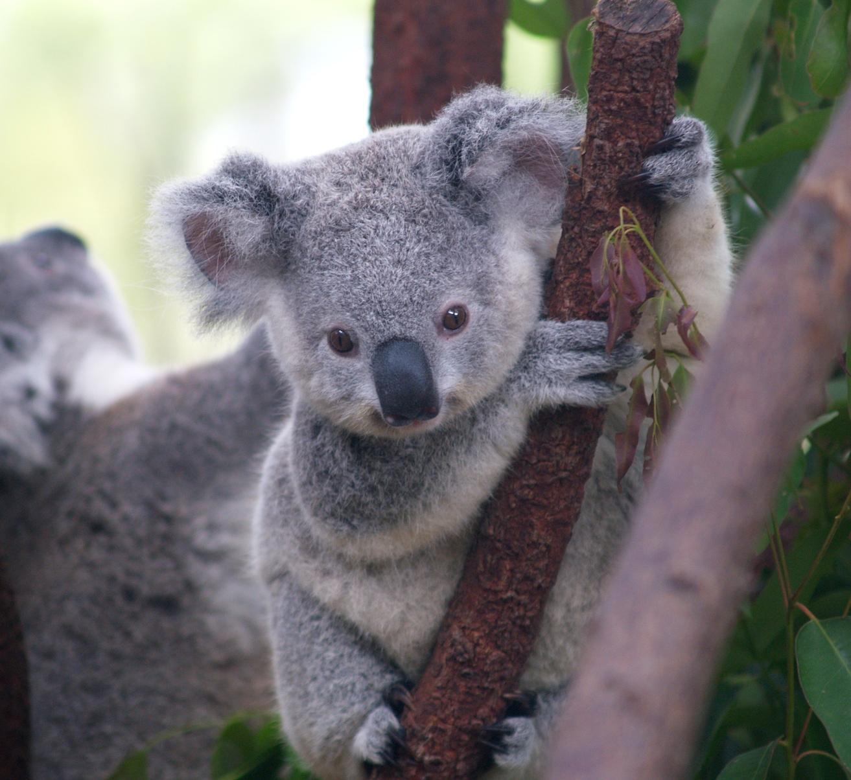 curiosidades y fotos de animales koala. Black Bedroom Furniture Sets. Home Design Ideas