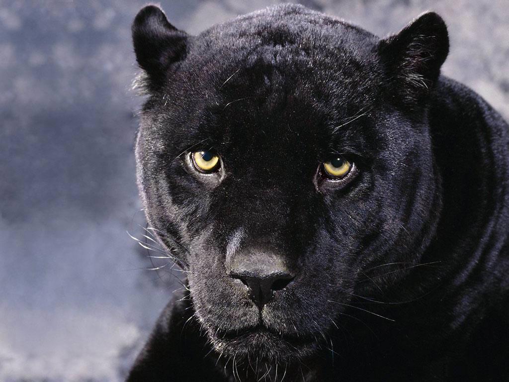 Curiosidades y fotos de animales: Pantera