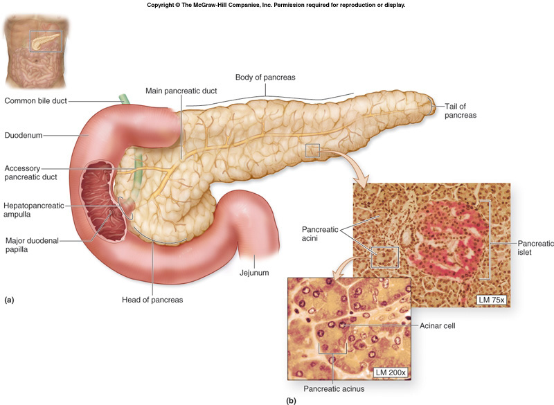 pancreas: pancreas definition, Human Body