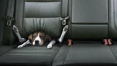 Бедная собачка на заднем сидении