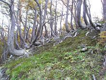 """Troncos en forma de """"J"""" dado inclinación (ladera)  y el peso de la nieve cuando joven las plantas"""