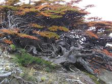 Alta montaña; condición ideal para los bonsai diseñados por la naturaleza  (yamadori)