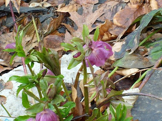 Helleborus- common name Lenten Rose