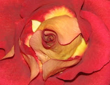 mother's day rose 2008