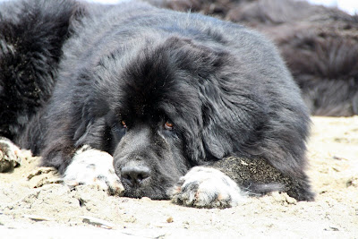Meet The Karazans: The Newfoundland -- Water Rescue Dog