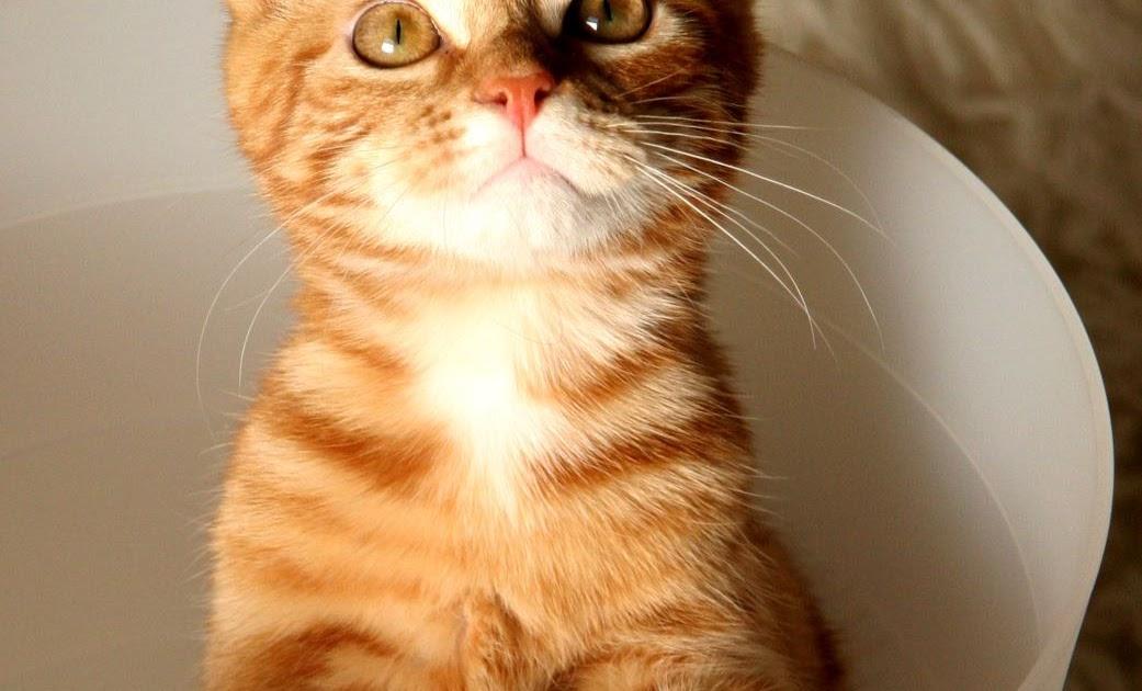 chat genetiquement modifié