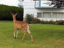 Urban Bambi