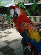 Parrot from Antiqua