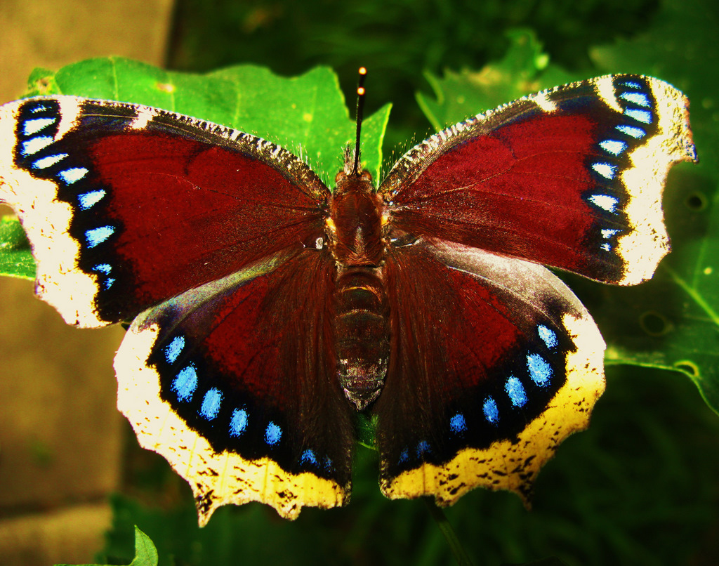 Question Mark Butterfly Viewing Gallery For - ...