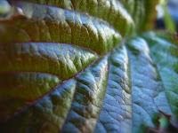 コジキカジの葉表