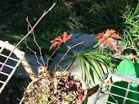 カジモミジの紅葉