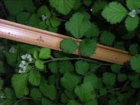 ナワシロイチゴ小枝