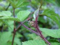 エビガライチゴ蕾