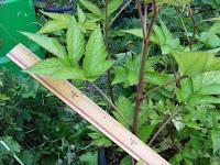 コジキカジ新シュートの葉