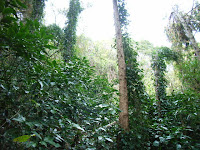 フウトウカズラの茂み